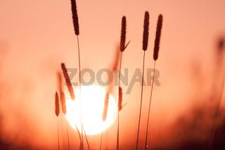 Dreamy summer grass background at sunset