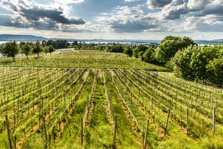 Weinanbau auf der Insel Reichenau, Bodensee, Baden-Württemberg, Deutschland