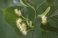 Blüten einer Linde (Tilia spec.)