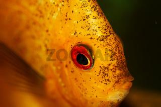 Yellow fish in aquarium