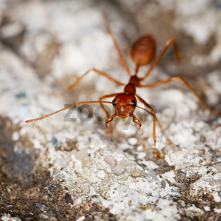 One weaver ant on stone background