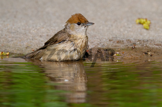 Cute female of eurasian blackcap sitting by the water alone
