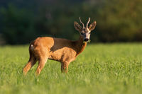 Roe deer chewing on green field in summer sunlight