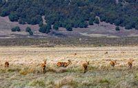 antelope Bohor reedbuck, Bale mountain, Ethiopia