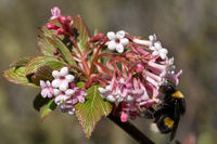 Buff-tailed Bumblebee, Bombus terrestris