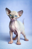 Lovely hairless kitten of Canadian Sphynx Cat breed standing on blue background