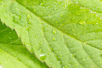 Green leaf with rain drops