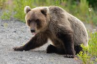 Wild Kamchatka brown bear with his tongue sticking out and looking