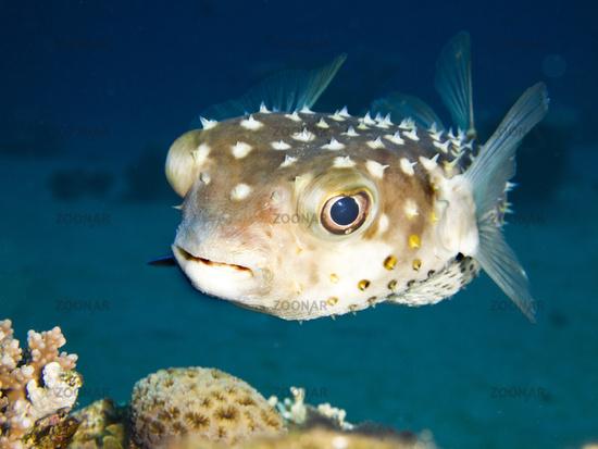 Gelbflecken-Igelfisch (Cyclichthys spilostylus)
