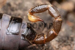 Sting of Heterometrus xanthopus, Sting, Venom, Lonand, Satara, Maharashtra, India