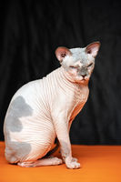 Cute hairless Canadian Sphynx cat on black and orange background