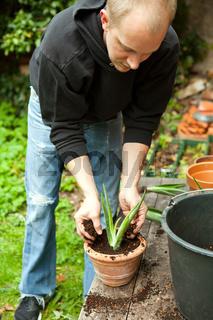 gardener repot young aloe vera plants