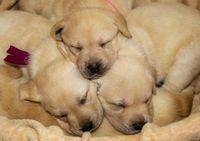 Labrador puppies dog sleeping