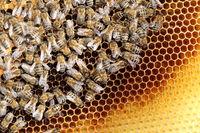viele Bienen beim Honigsammeln