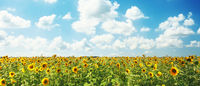 Field of blooming sunflowers on a background blue sky