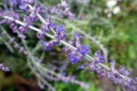 Blüten der Silber-Perowskie oder Blauraute (Salvia yangii, Perovskia atriplicifolia) in Nahaufnahme