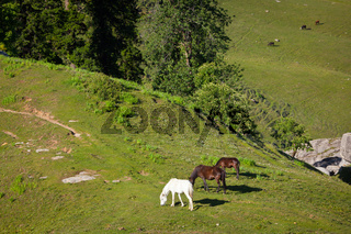 Horses grazing in Himalayas mountains. Kullu valley