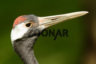 Close-up of a red-crowned crane
