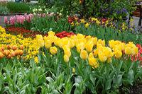 Tulpen im Keukenhof Garten.