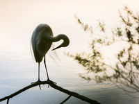 Silhouette of the profile of a Great White Egret standing on a small branch on a lake