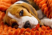cute beagle puppy resting on an orange plaid. portrait of a beautiful Beagle puppy