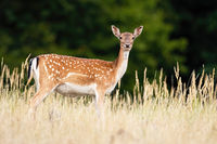 Fallow deer looking to the camera on meadow in summer