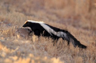 Skunk Stinktier NM USA