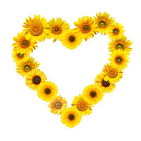 Sunflower with heart shape on white background.