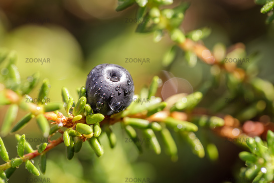 Blueberry antioxidants on a background of Norwegian nature.