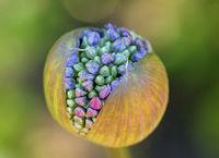 Blütenkapsel eines Zierlauchs