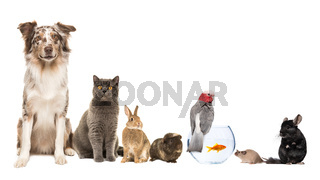 Group of different kind of pets, like cat, dog, rabbit, mouse, chinchilla, guinea pig, bird and fish on a white background with space for copy