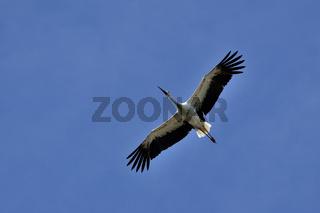 Juvenile White Stork / Jungstorch