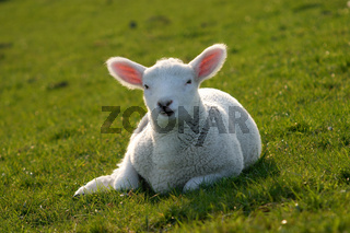 Baby sheep relaxing the early spring sun