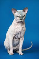 Portrait of Canadian Sphynx cat sitting on blue background, looking at camera