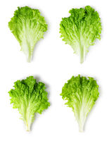 Lettuce leaves on a white background.