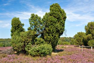 Lüneburger Heide, Heidelandschaft mit Wacholder