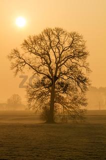 Kahler Baum im Morgennebel