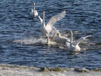Whooper swans, Cygnus cygnus, fighting in the Hananger water at Lista, Norway