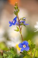 Detailaufnahme von Blüten der Veronica Ehrenpreis Pflanze vor unscharfem Hintergrund