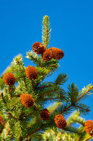 Natural Xmas pine cones and prickly branches