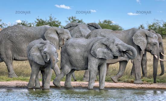Elefantenherde am Wasserloch, Etosha-Nationalpark, Namibia, (Loxodonta africana)   elephants at a waterhole, Etosha National Park, Namibia, (Loxodonta africana)