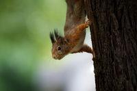 Eichhörnchen kopfueber an einem Baum