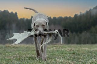 Weimaraner Vorstehhund apportiert Damhirschgeweih
