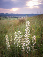 White flowers on a meadow at sunset