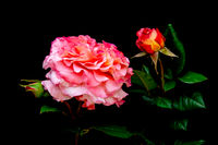 Creative Art Vintage bouquet of Rose flower. Blossoms of natural rose flowers in full bloom. Floral