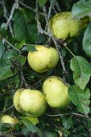 20210930_Malus domestica Weisser Wintertaffetapfel, Apfel, apple.jpg