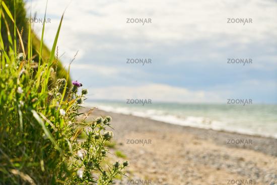 Diestel und Schilf in Düne am Strand vom Meer
