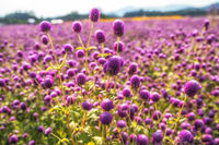 Field of purple globe amaranth