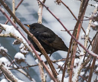 Blackbird sitting on a snow covered branch