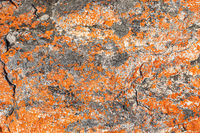 Macro texture of orange and black lichen moss growing on mountain rock